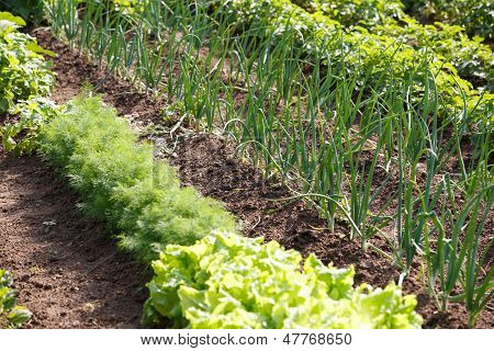 Organic Vegetables In Garden