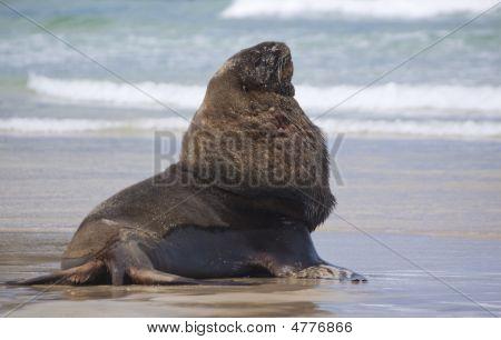 Sealion Posing