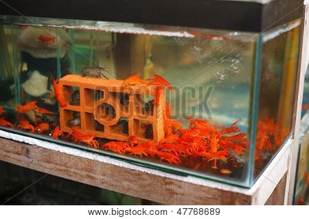 Red Shrimps In Aquarium