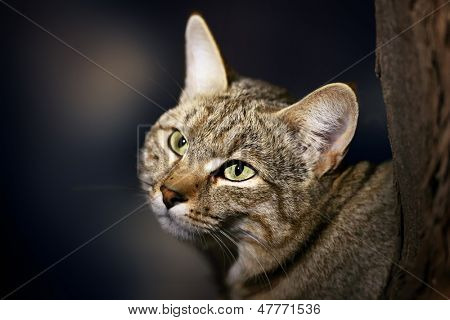Gato selvagem Africano - Felis silvestris lybica - deserto de Kalahari - África
