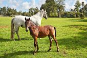 Riding school and breeding of thoroughbred horses. White horse with the foal. Green lawn for walkin