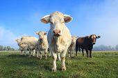 stock photo of charolais  - herd of young white cows on green meadow - JPG