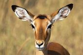 Portrait Of Female Impala
