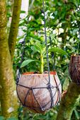 Hanging flower pot made of coconut plants inside