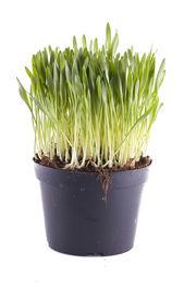 image of catnip  - A vase of catnip isolated over white background - JPG