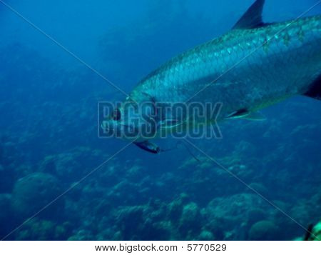 Tarpon with fishing lure in mouth
