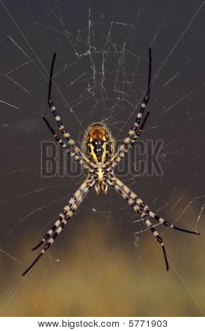 Spider, Argiope trifasciata