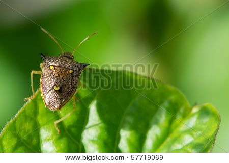 Three Spot Shield Bug