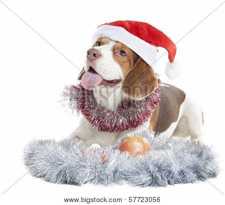 Beagle In Santa Hats