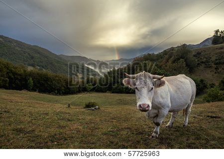 Cow and rainbow