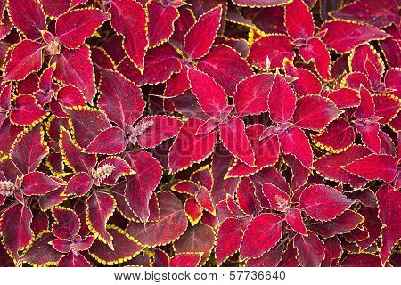 Red Coleus Plant Close Up