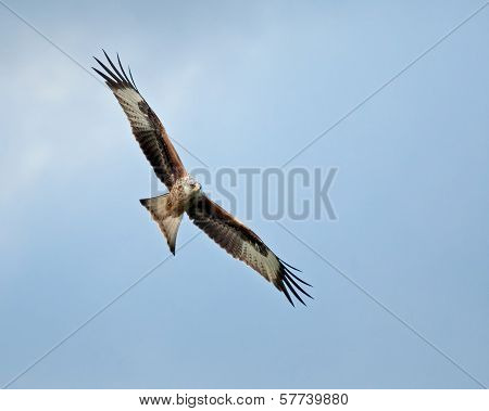 Red Kite Soaring Right