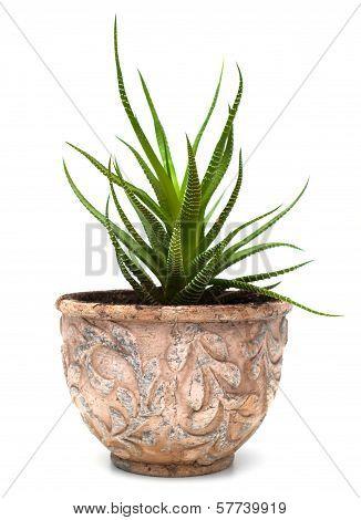 Haworthia In Flowerpot Isolated On White