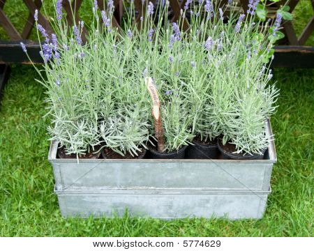 Pots Of Fresh Lavender