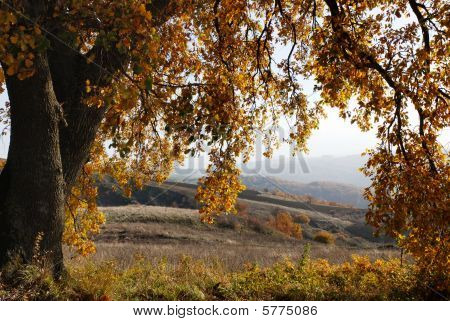 Large Oak Tree In Autumn