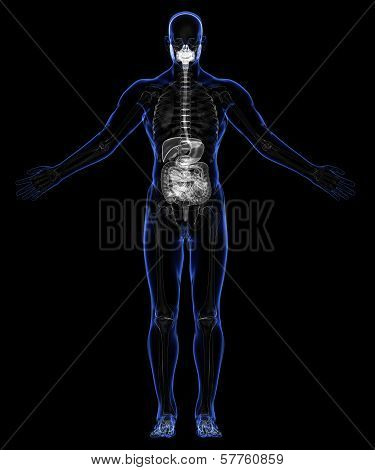 Human Digestive System And Skeleton