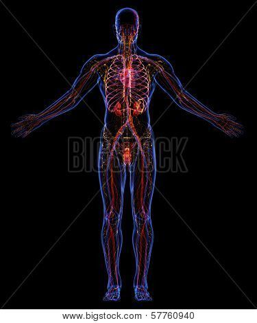 Human Urinary, Lymphatic And Circulatory System