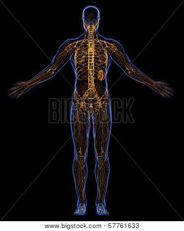 Human Lymphatic System And Skeleton
