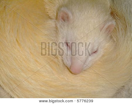 A White Domestic Ferret Sleeping