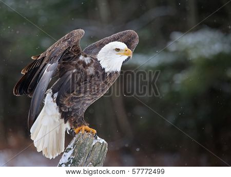 Posed Bald Eagle