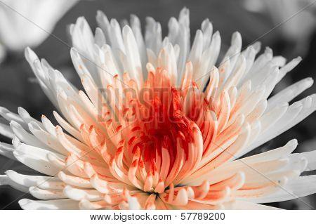White-red Chrysanthemum Against A Dark Background