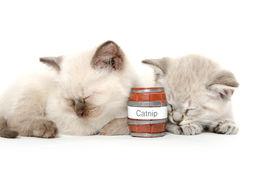 stock photo of catnip  - Two cute baby American shorthair kittens sleeping on white background with catnip - JPG