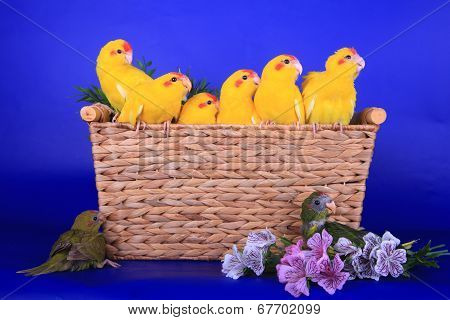Brood of Red-fronted Kakariki parakeets on blue