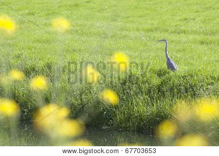 blue heron in meadow in the Netherlands