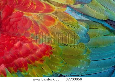 Red-and-green Macaw feathers