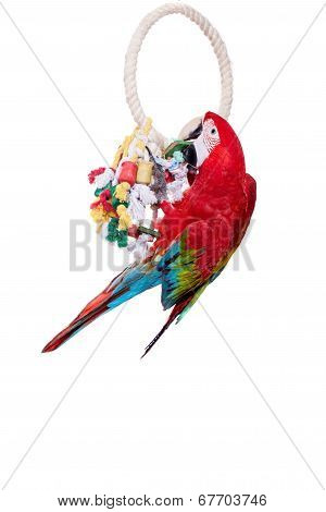 Red-and-green Macaw on white background
