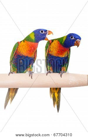 Rainbow Lorikeet isolated on white