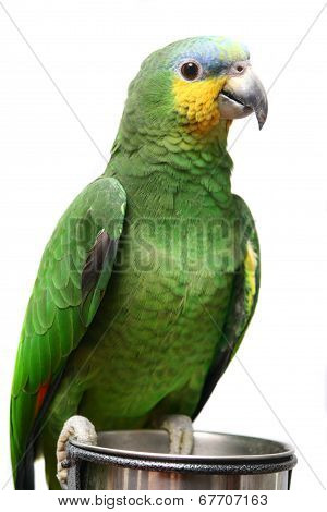 Venezuela Amazon parrot on white