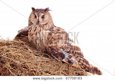 Long-eared Owl nesting isolated on white