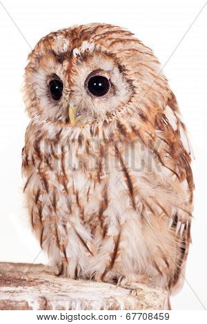 Tawny or Brown Owl isolated on white