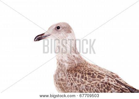 European Herring Gull, 4 month, on white