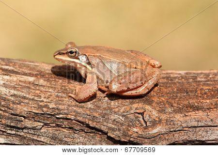 Wood Frog (rana Sylvatica)