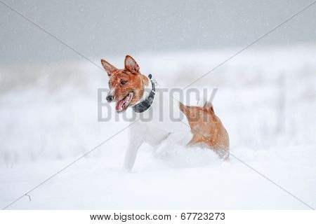 Brindle basenji on the snow meadow