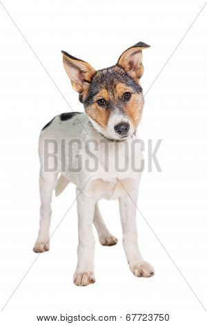 Mixed-breed puppy on white background
