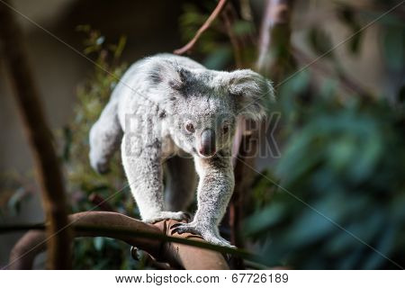 Koala on a tree with bush green background