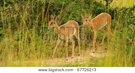 A Pair Of Oribi