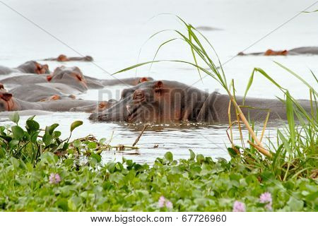 Scarred Hippopotamus Sleeps In The Marsh