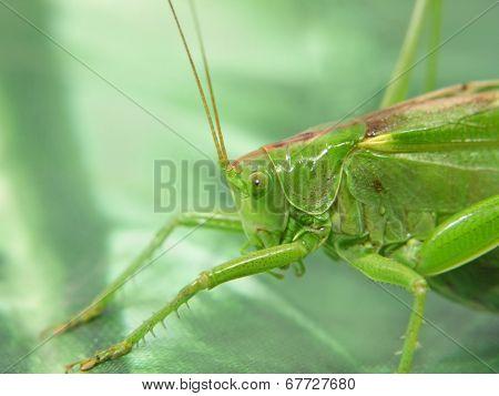 Green Locust.