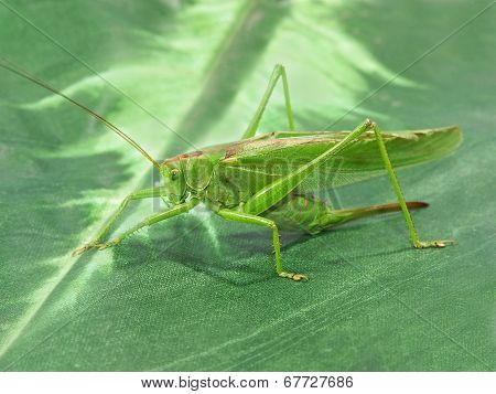 Green Locust.closeup.