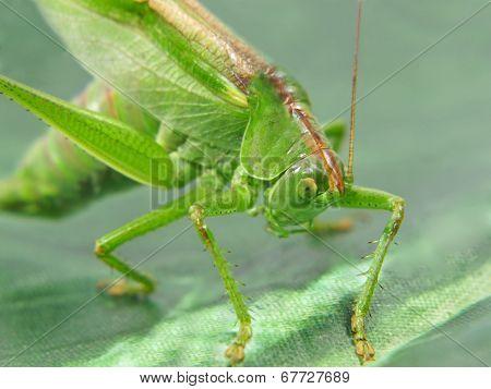 Green Locust Taken Closeup.