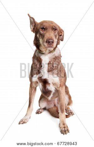 Mixed breed dog on white