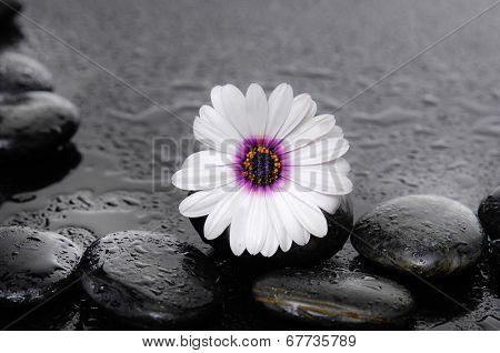 flowering macro of the gerbera with wet black stones on wet