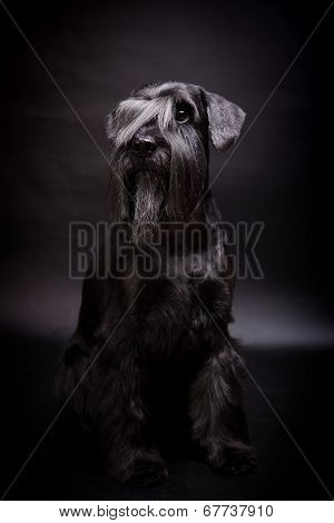 Miniature Schnauzer on black
