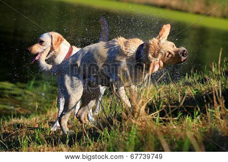 Labrador shaking off