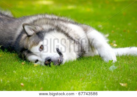 Alaskan Malamute on grass