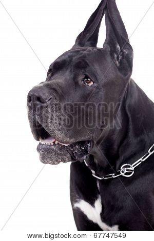 Black Great Dane on white
